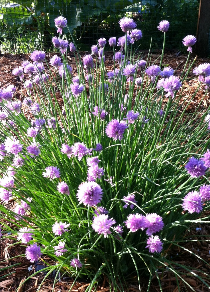 Chives in Spring